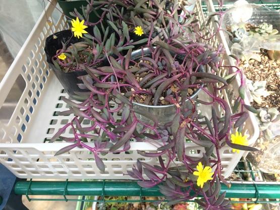 ルビーネックレス・紫月(紅葉・花あり)