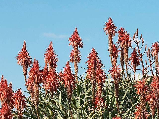 キダチアロエの花