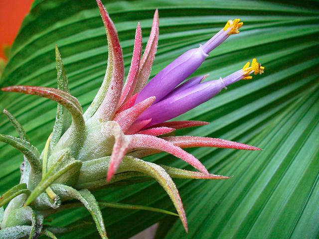 チランジアの花(イオナンタ)
