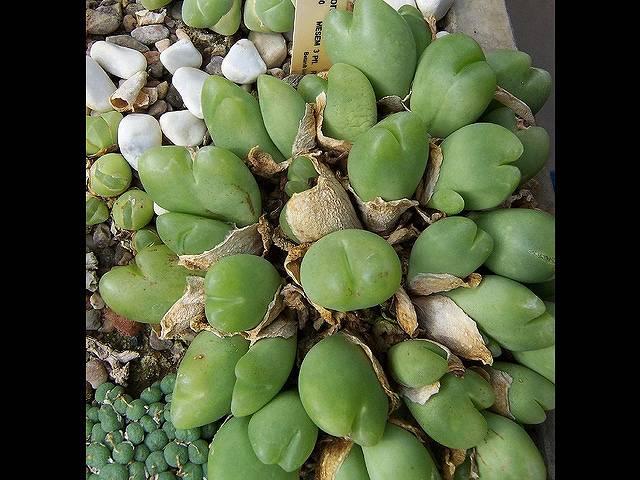 ギバエウム 藻玲玉