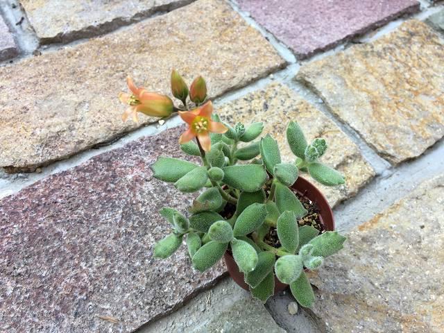 子猫の爪の花