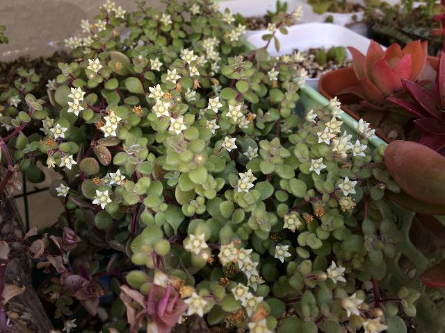 ブロウメアナの花