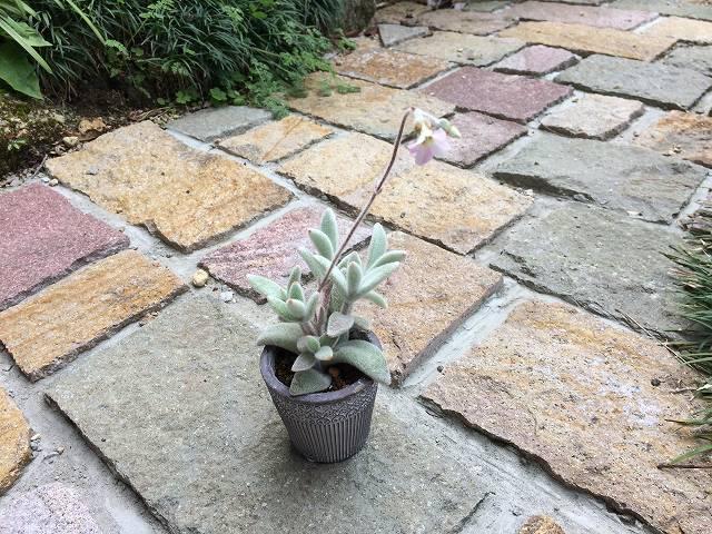 福兎耳の花