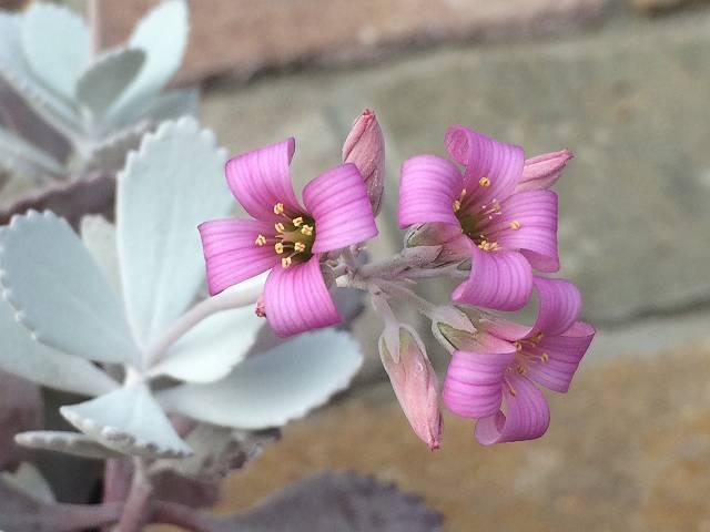 白銀の舞の花