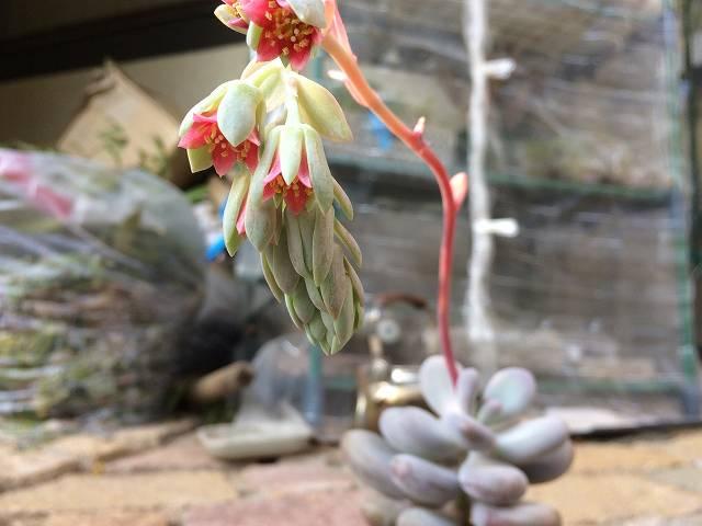 星美人の花