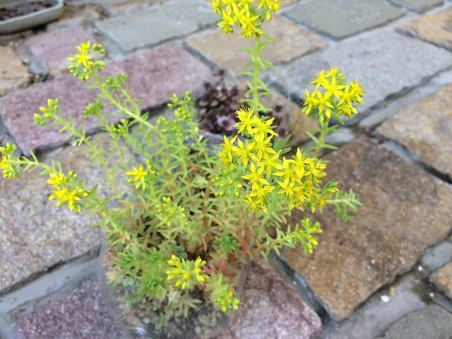 セダム属の花