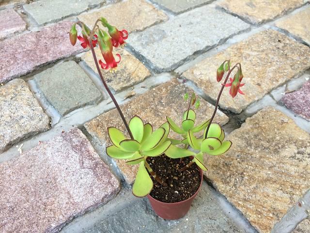 ゴルビュー(パピラリス)の花