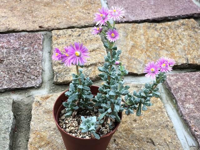 琴爪菊の花