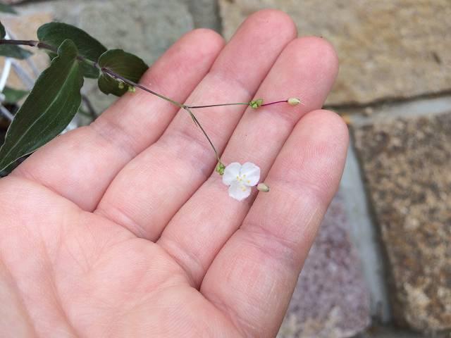 トラデスカンティアの花