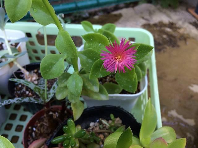 ベビーサンローズの花