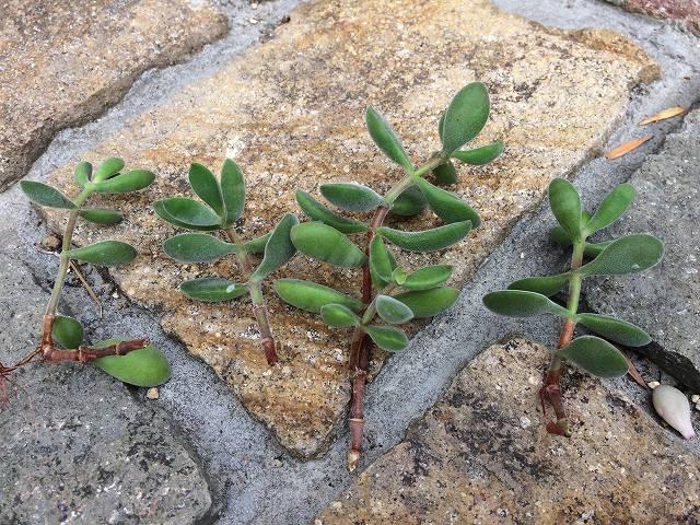 多肉植物のさし芽・挿し木