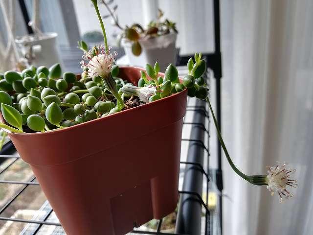 グリーンネックレスの花