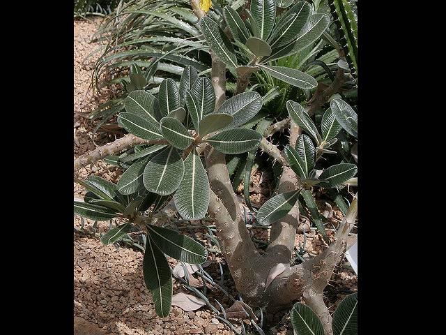 パキポディウム グラキリウスの花