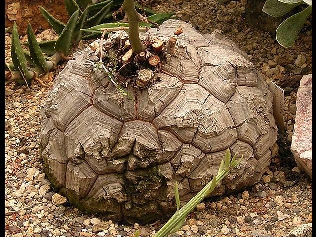 ディオスコレア アフリカ亀甲竜