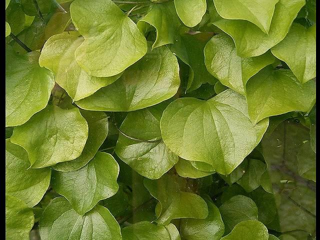 亀甲竜の葉