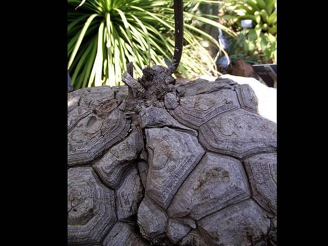 メキシコ亀甲竜