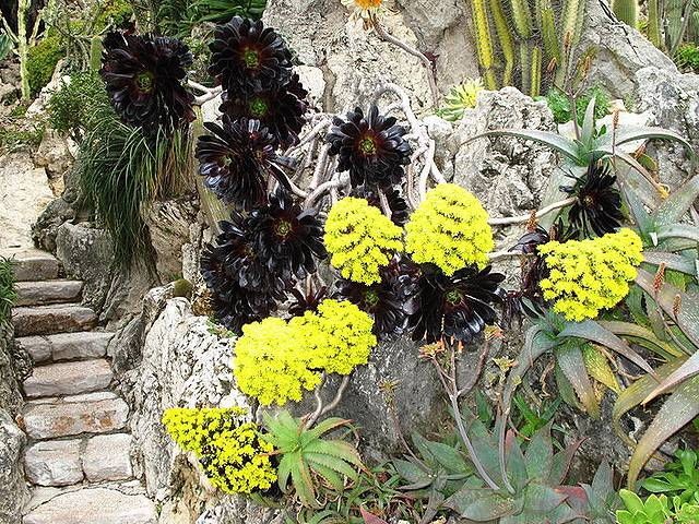 黒法師の開花
