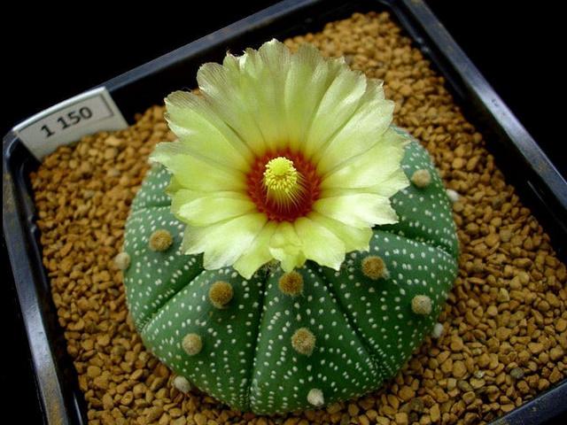 兜丸(カブト) Astrophytum asterias 花