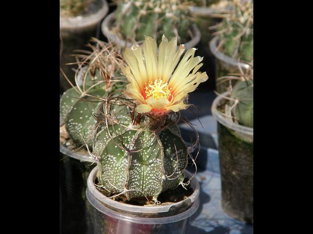 瑞鳳玉(ズイホウギョク)の花