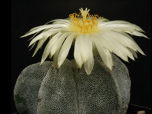四角鸞鳳玉(シカクランポウギョク) 花