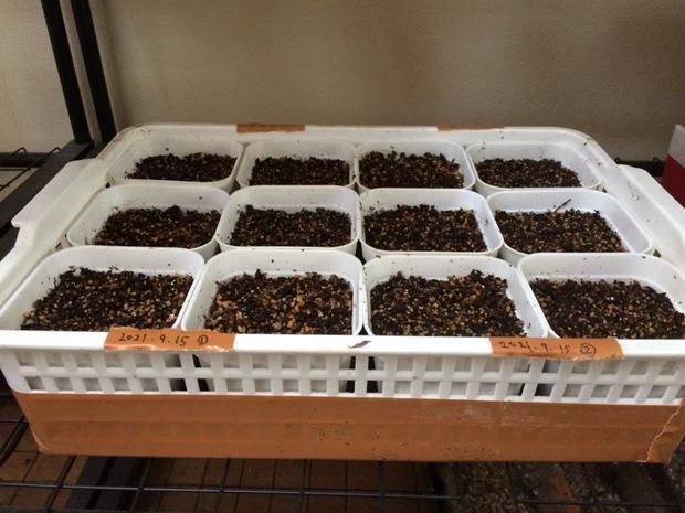 リトープス種まき2021年